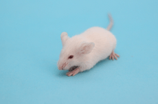 なぜ「ねずみ」が実験に使われるのか?